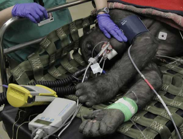 "<div class=""meta image-caption""><div class=""origin-logo origin-image ""><span></span></div><span class=""caption-text"">A member of the Veterinary Services Department within the Chicago Zoological Society strokes the cheek of Bakari, a 6-year-old male western lowland gorilla, in an examination room as the team performs physicals on two of the Brookfield Zoo's six gorillas, Thursday, March 10, 2011, in Brookfield, Ill. During the physicals performed every couple of years, the team draws blood to test cholesterol, metabolism, kidney and liver functions, performs dental and eye exams, takes radiographs of the chest and abdomen, and the team also does a cardiac ultrasound. (AP Photo/M. Spencer Green)  ( (AP Photo/M. Spencer Green))</span></div>"